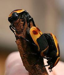 pachnoda fruit beetle animal encounter