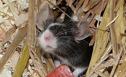 mouse animal encounter