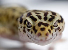 leopard gecko animal encounter