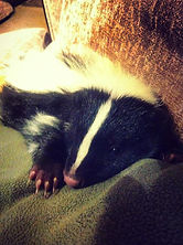 skunk animal encounter meet