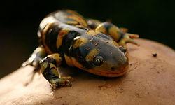 tiger salamander animal encounter