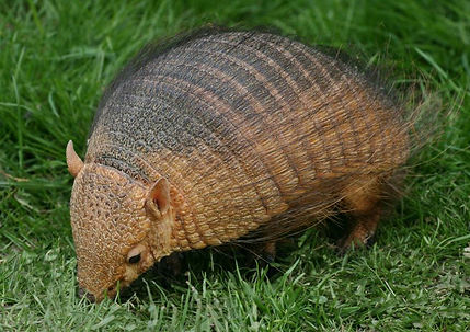 armadillo animal encounter meet exotics