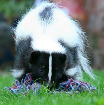 meet a North American Skunk