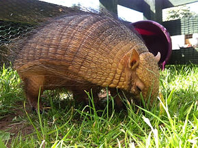 armadillo holiday animal encounte meet exotics