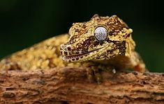 gargoyle gecko animal encounter