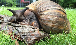 giant african snails animal encounter