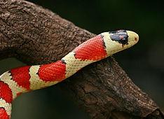 king snake animal encounter
