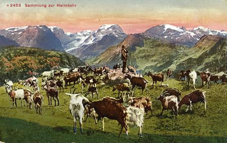 Braunwald Schafherde