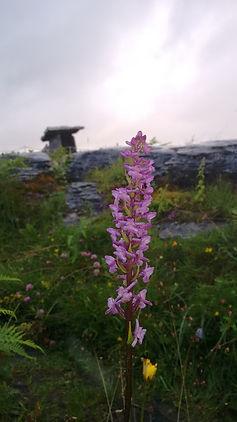 Burren Orchid.jpg
