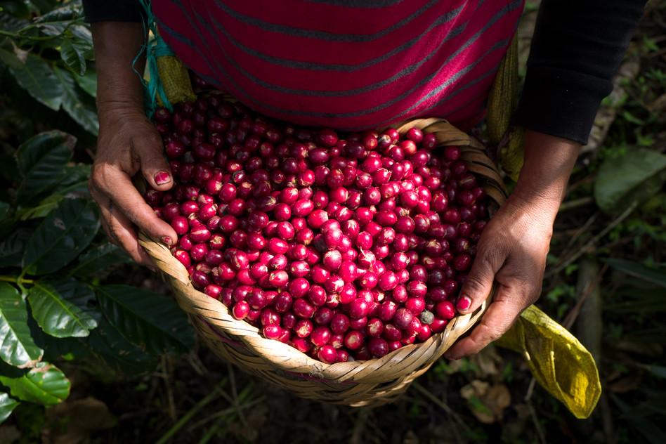 Nicaragua Los Papales harvest basket