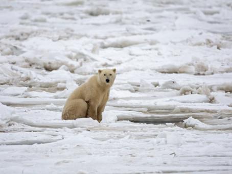 Los osos polares podrían estar casi extintos para 2100 debido al cambio climático.