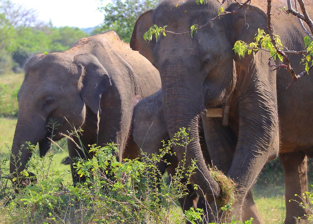 asian elephants yala sri lanka