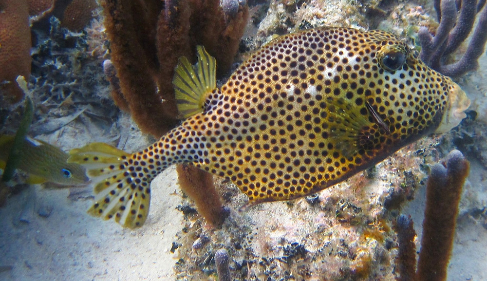 belize tropical fish