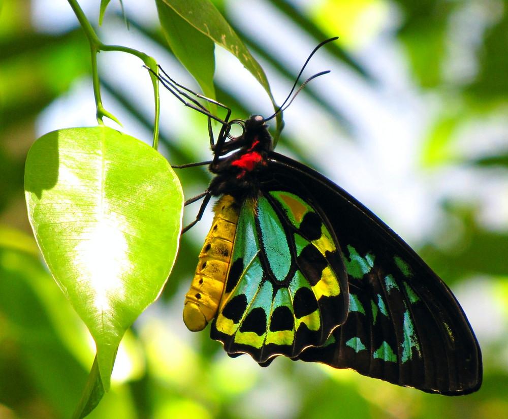 birdwing butterfly australia
