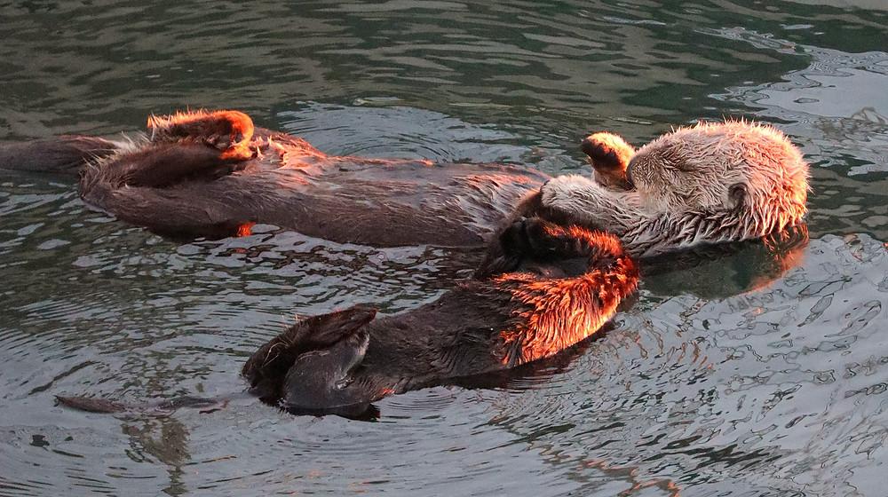 sea otters morro bay california