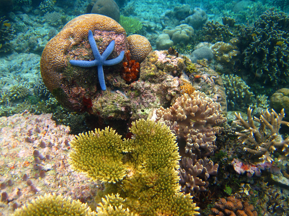 blue sea star and corals indonesia