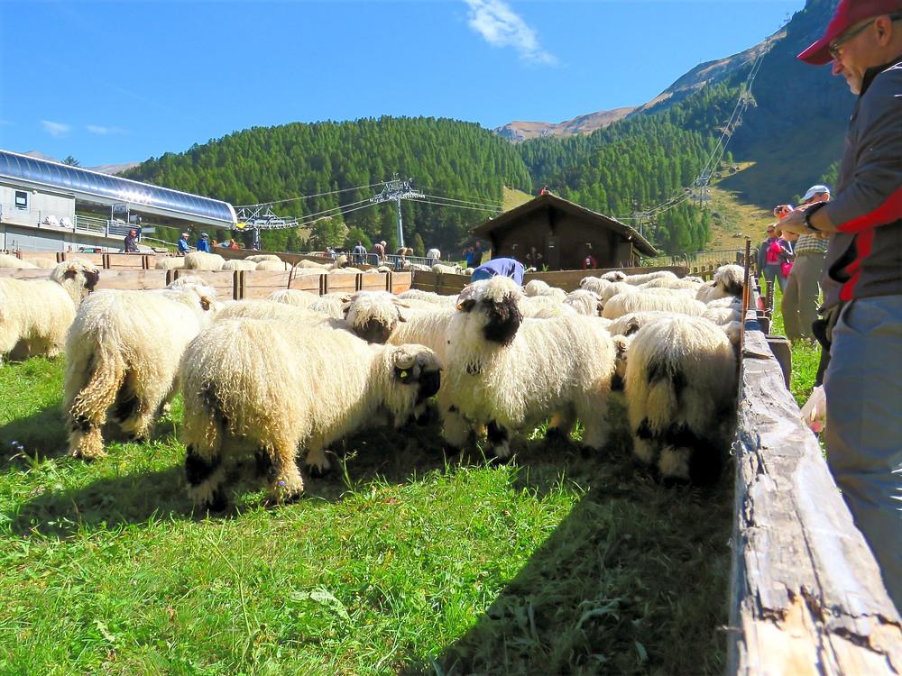 Schweigmatten Shepherd Festival