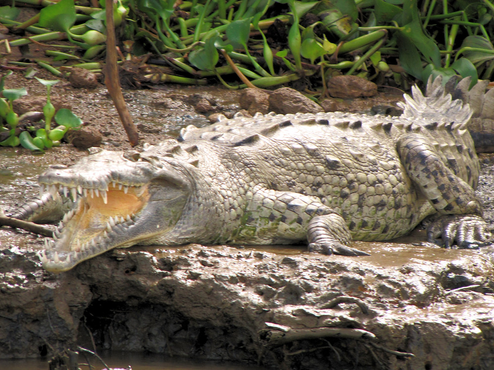 crocodile costa rica