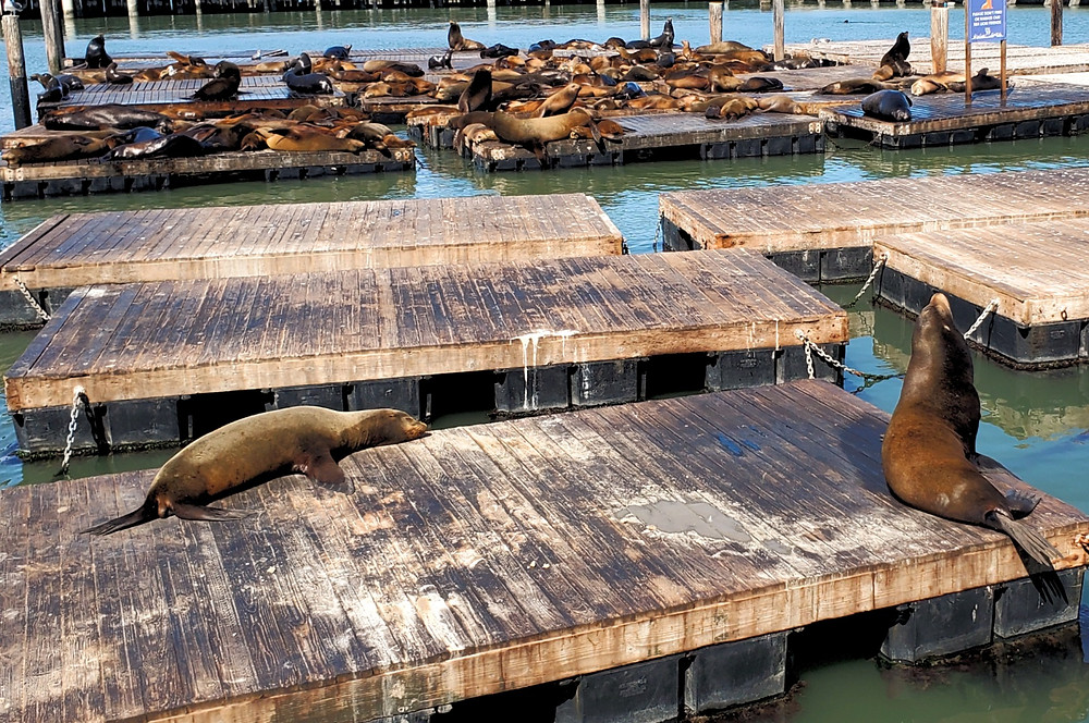 sea lions pier 39