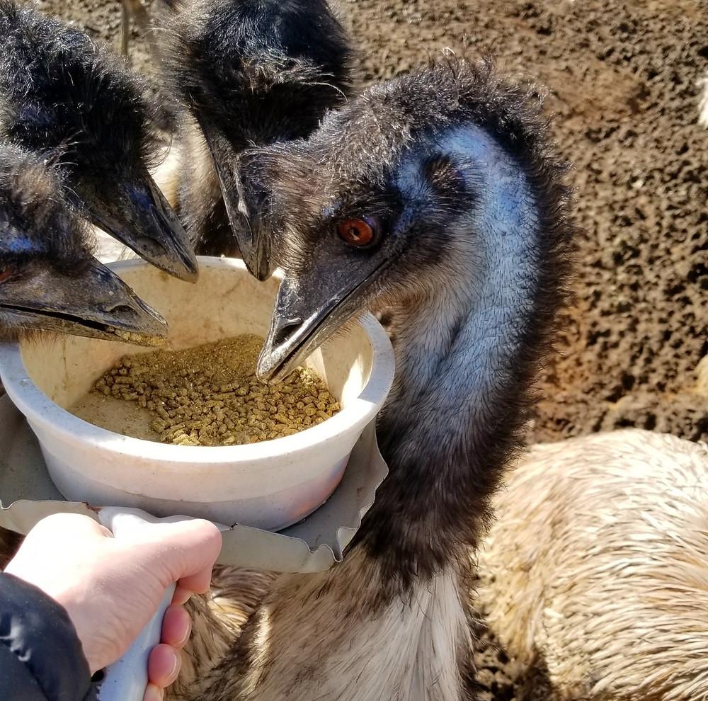 feeding emus ostrichland usa