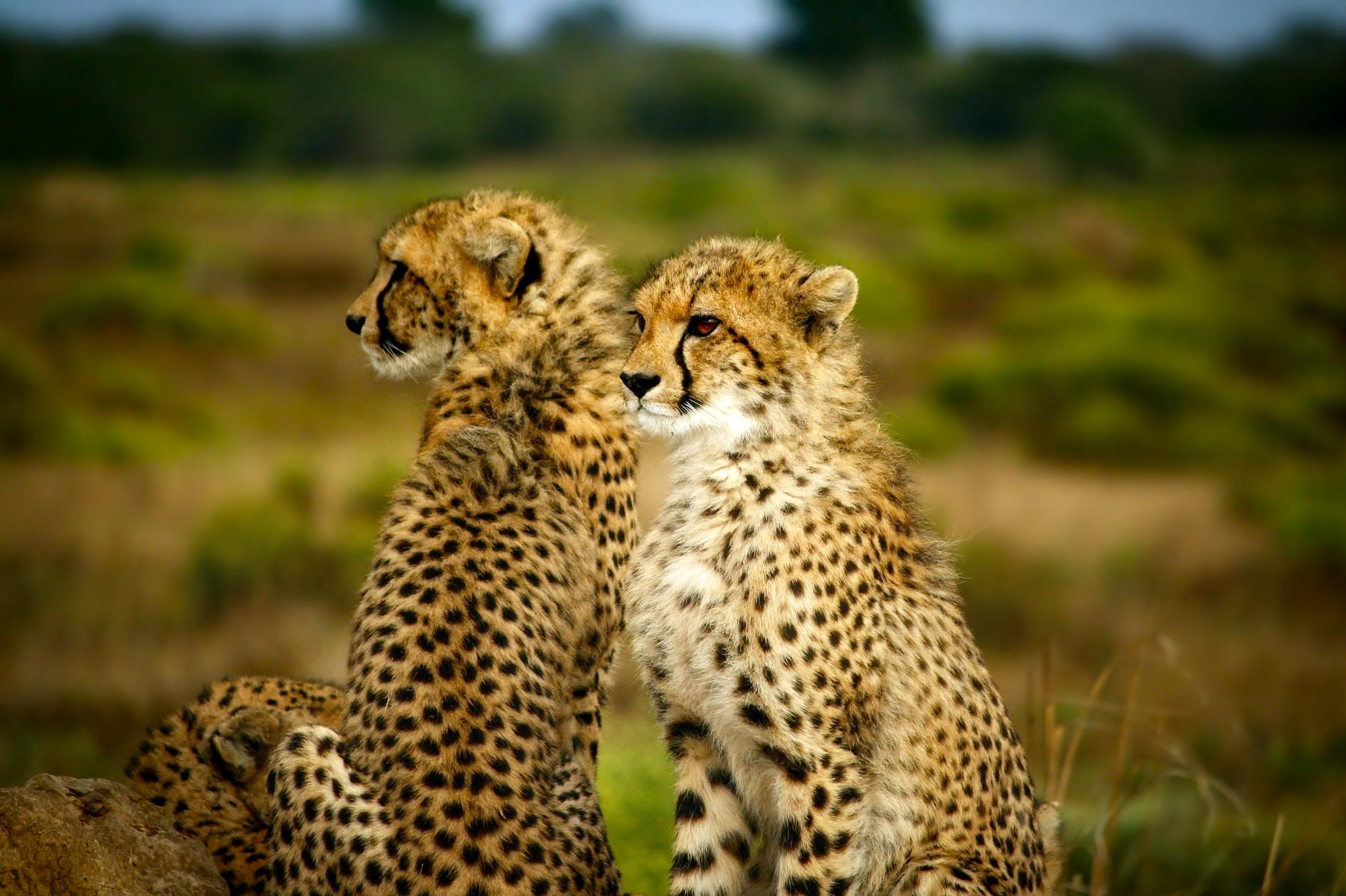cheetahs-1900660
