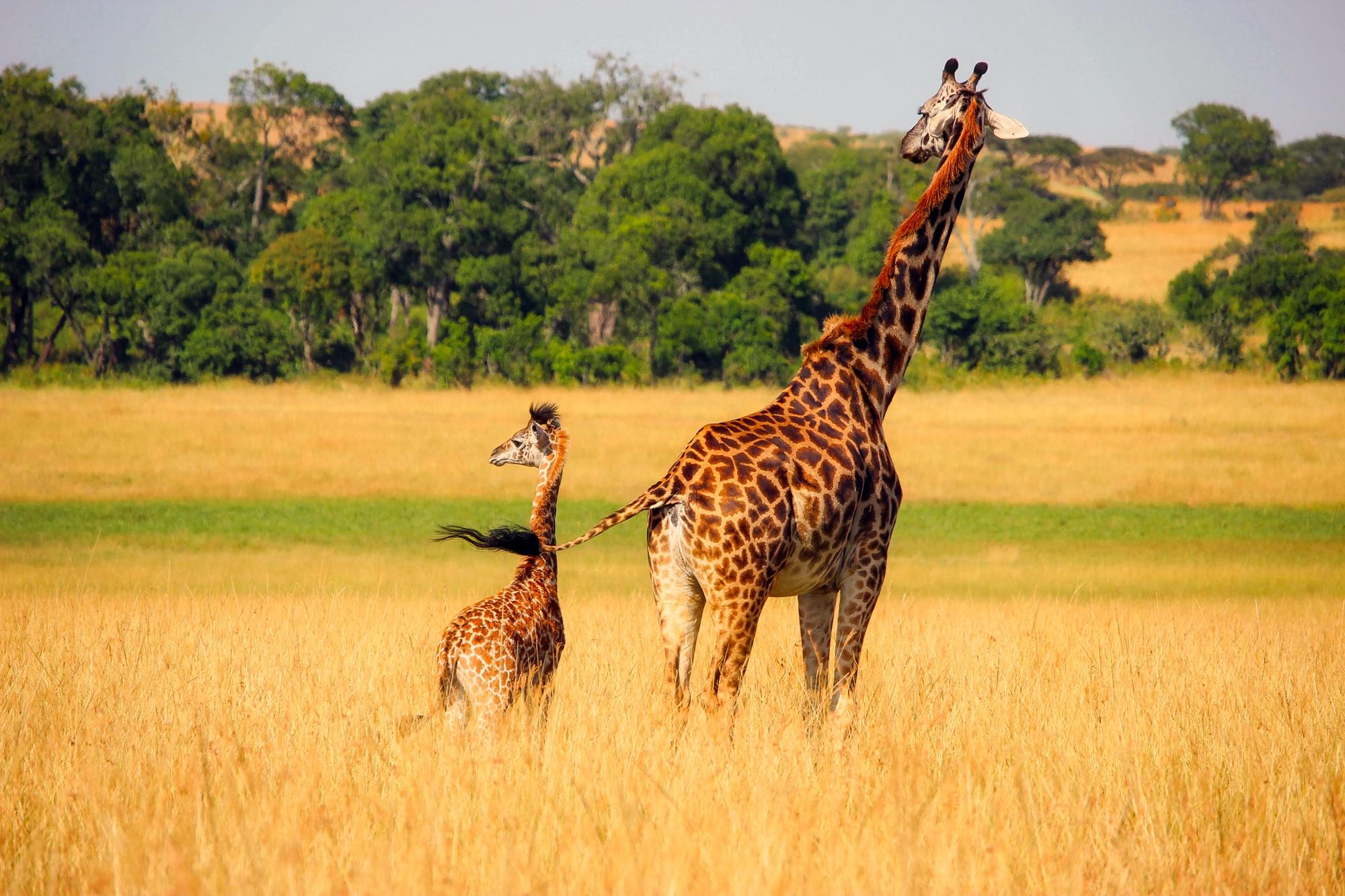 giraffe-2064520
