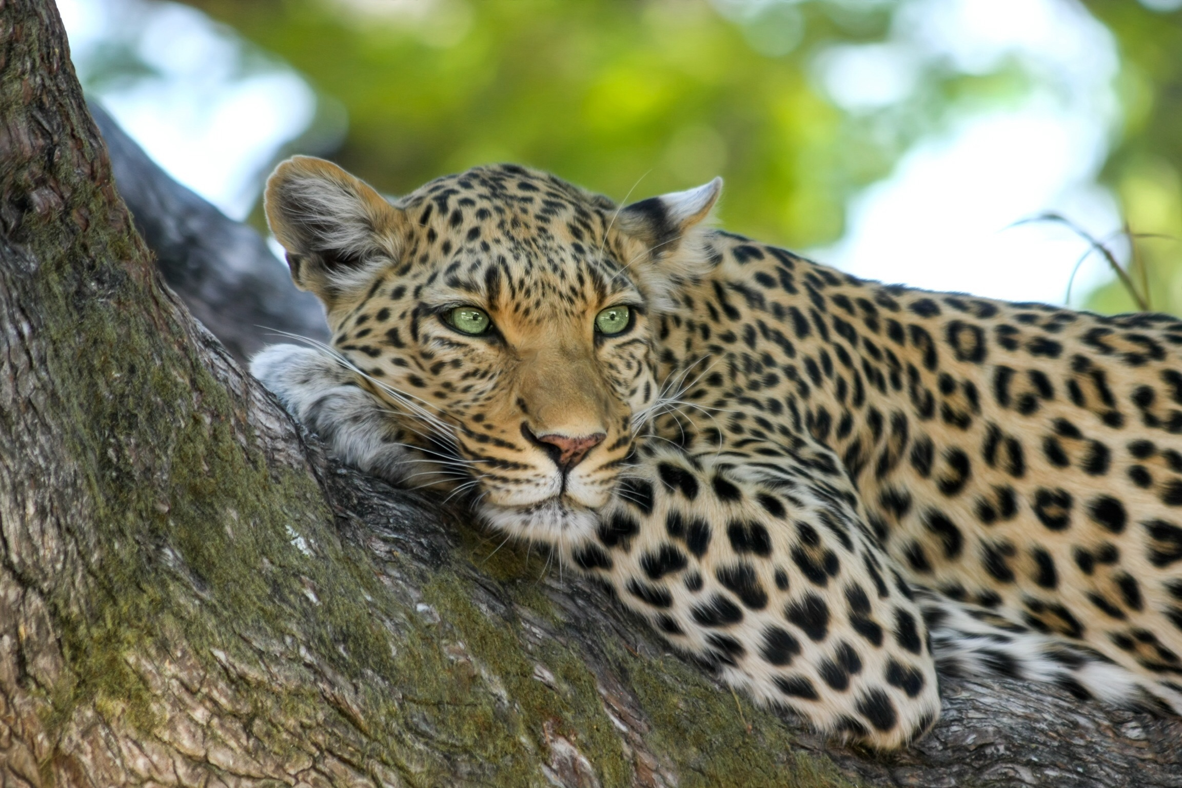 leopard-515509