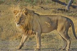 lion-515030