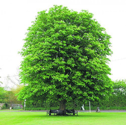 Chestnut Tree Today (Planted 1973)