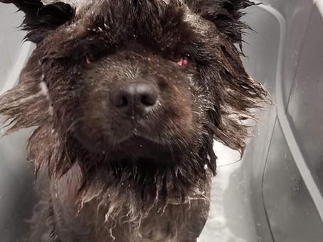 Un Duo à connaître shampoing et revitalisant PÜR, parfait pour les jeunes animaux.