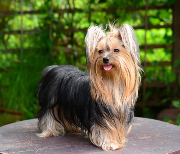 yorkshire-terrier, dogma