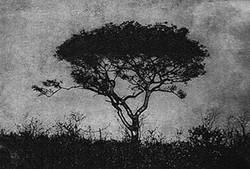 Doringboom
