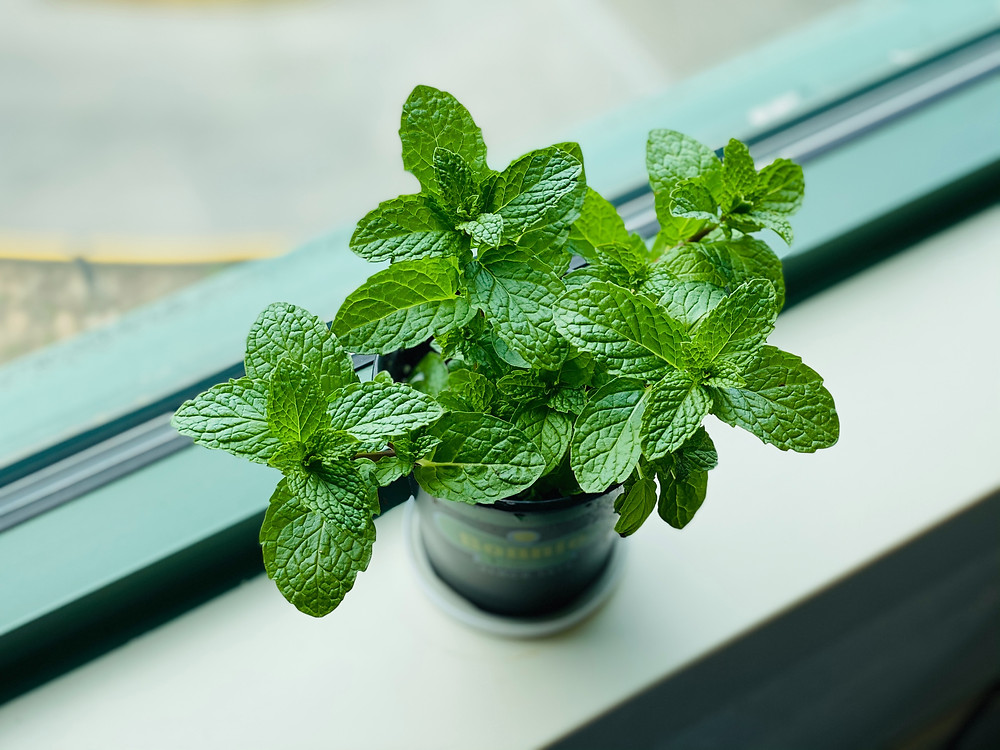 mint leaves plant window sill