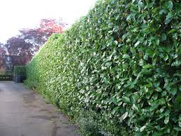 hedge trim.jpg