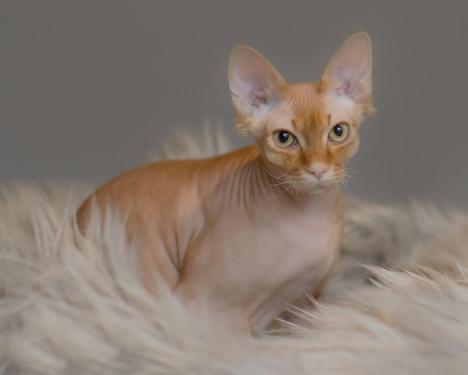 Percy the Sphinx cat