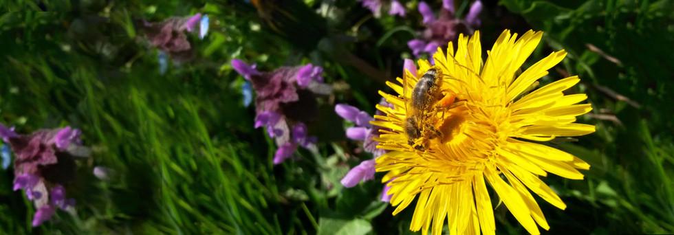 abeille pissenlit.jpg