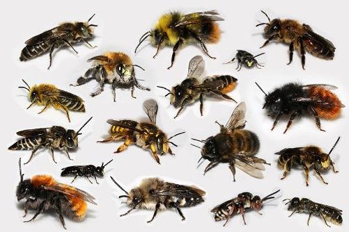 Différentes abeilles sauvages