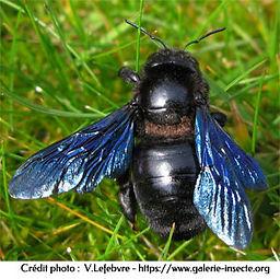 Xylocopa violacea ou abeille charpentière