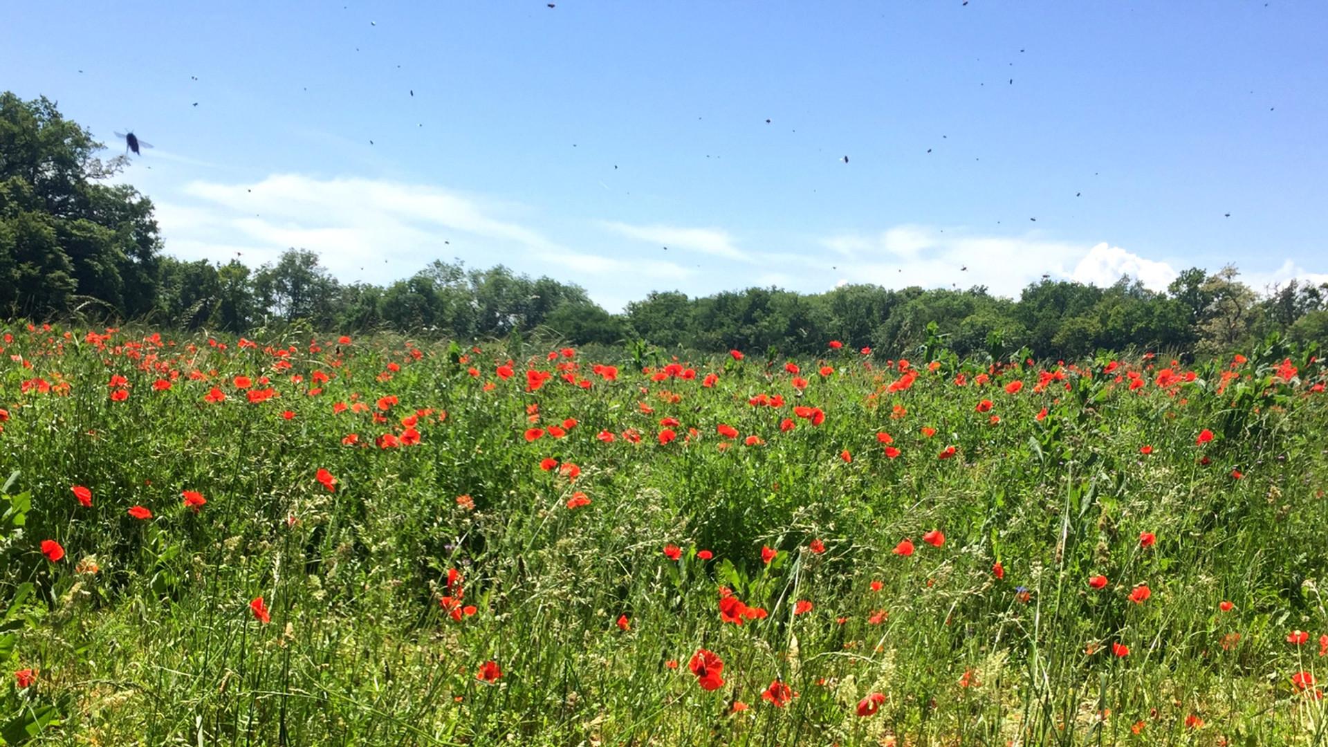 Champ de coquelicots et abeilles