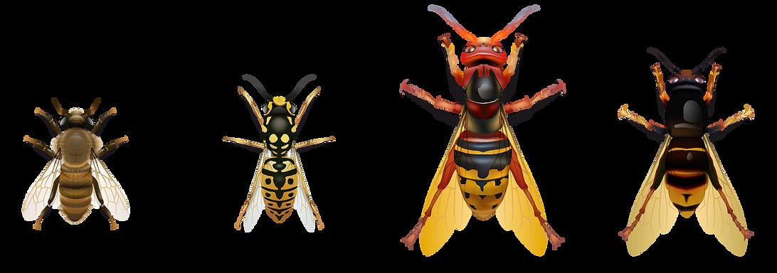 Différences entre l'abeille, la guêpe, le frelon européen et le frelon asiatique