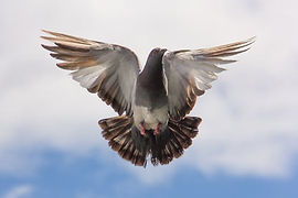 pigeon-flight-twig.jpg