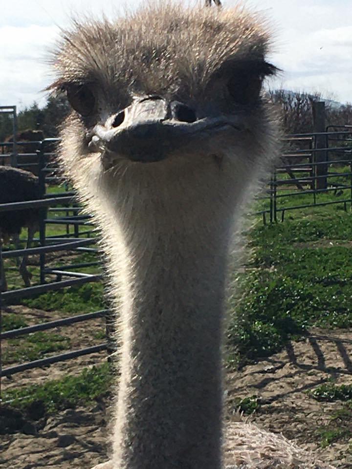REINS Ostrich