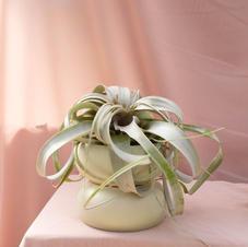 טילנסיה - צמח אויר