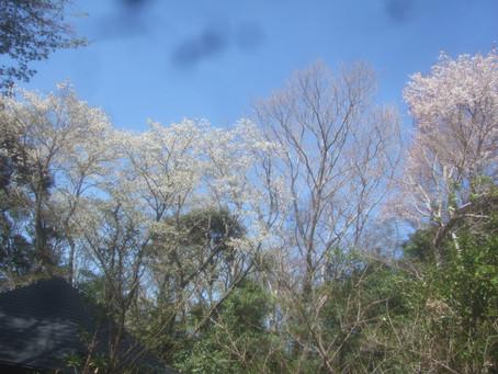4月のcafeは山桜でいっぱいになる