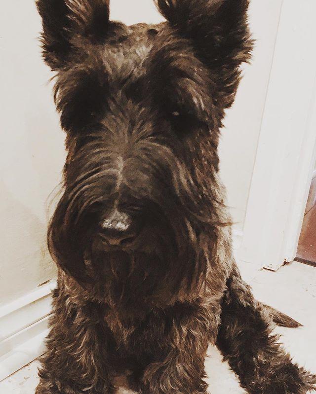 My #yearofthedog #ottothescotti #scottishterrier #dogsofinstagram