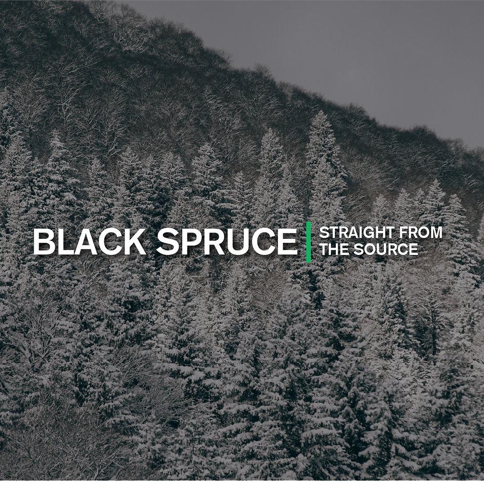 Black spruce forest in winter