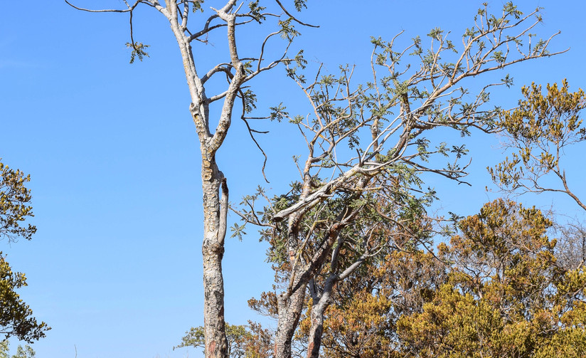 Overharvested carterii trees in decline