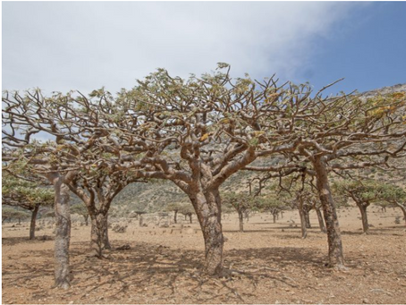 Earth.com: Famous Frankincense Forest Is In Serious Danger