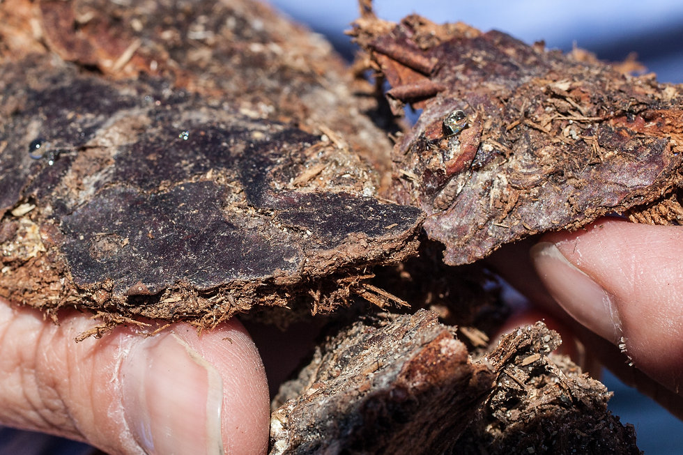 Balsam fir bark with sap being squeezed out