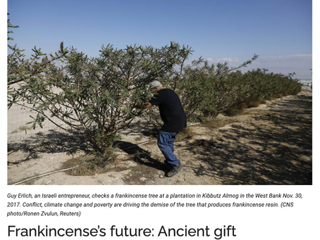 Catholic Review: Frankincense's future: Ancient gift endangered, risks depletion- Article & Video